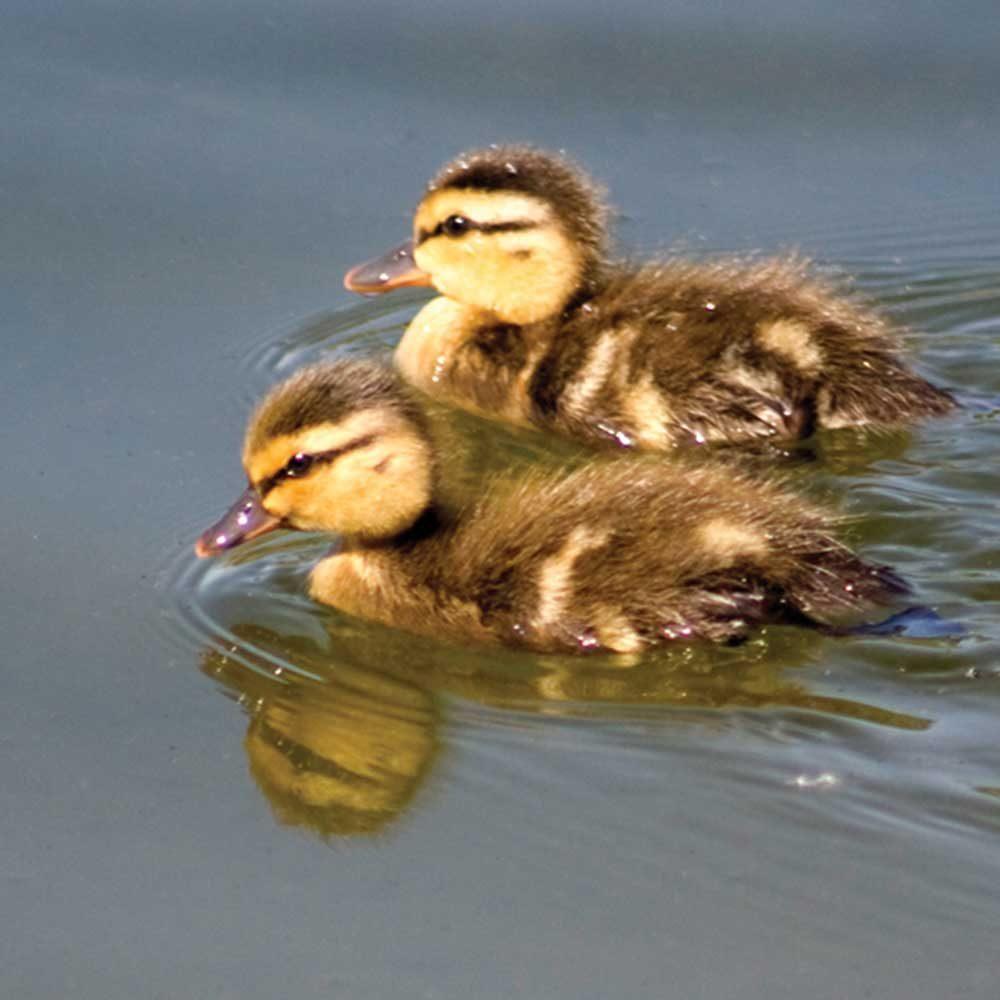 Ducklings by James Einspahr