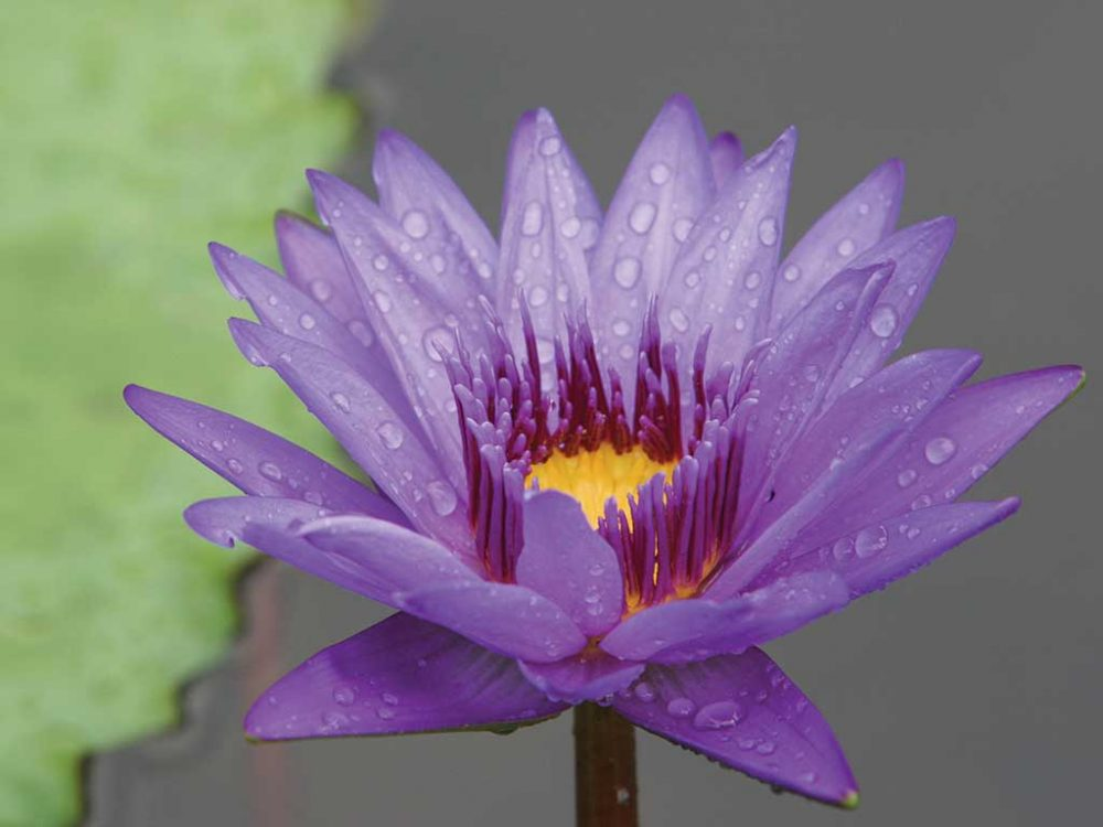 Water Lilly by James Einspahr